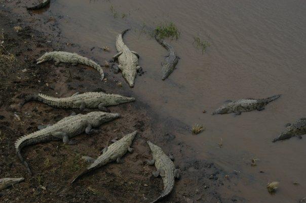 tarcoles crocodiles
